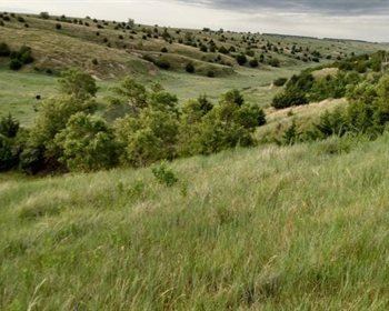 Productive Hardland Pasture for Grazing Cattle